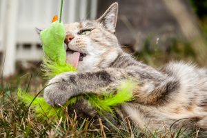 Tabby Cat Licking a Cat Toy